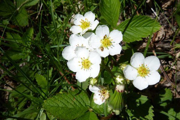 Fleurs de fraisier
