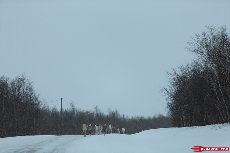 Troupeau de rennes en Finlande