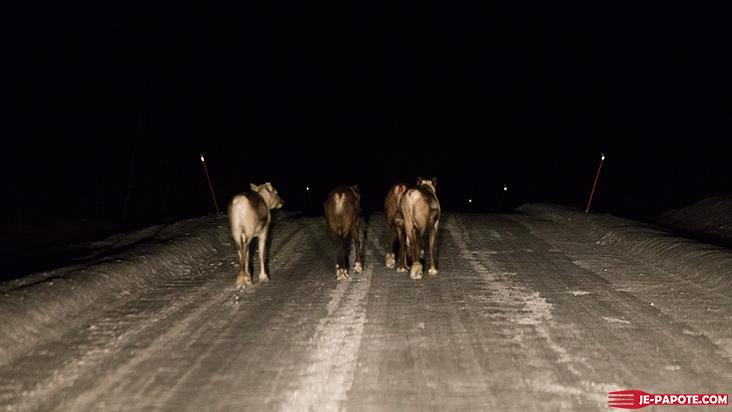 troupeau-renne-karasjok