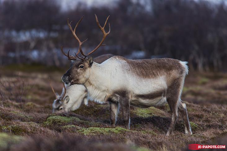 Renne Tromso