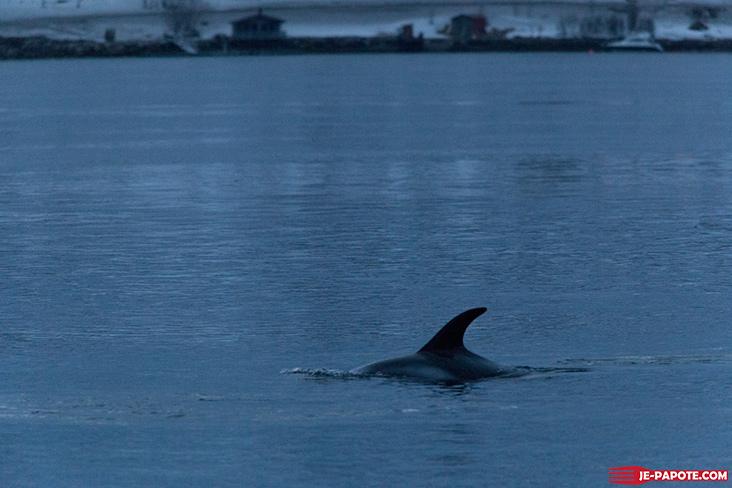 dolphin-tromso-norvege-3