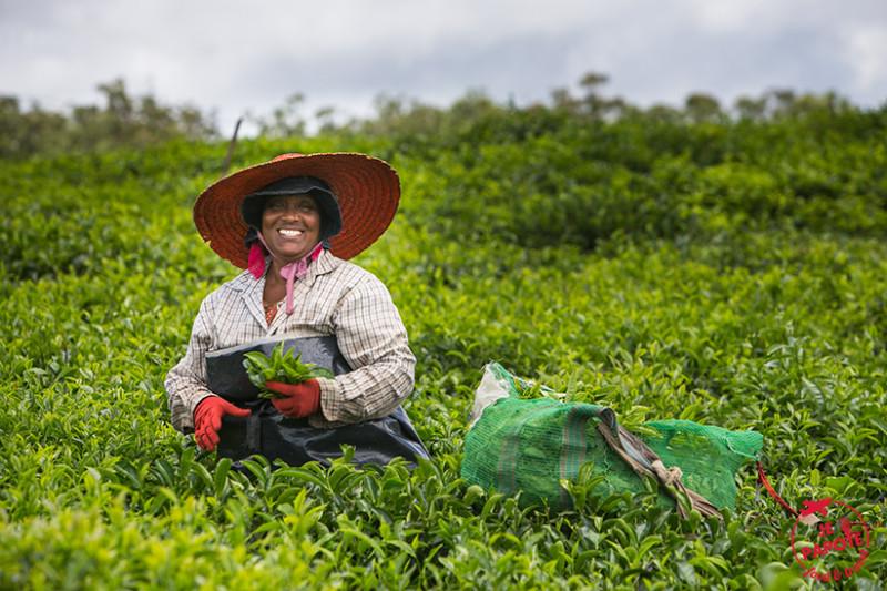 Champs de thé à l'Ile Maurice