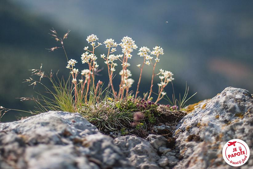 Fleurs de montagne Vercors
