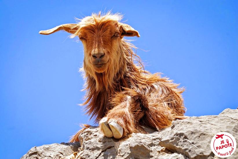 Chèvre Oman