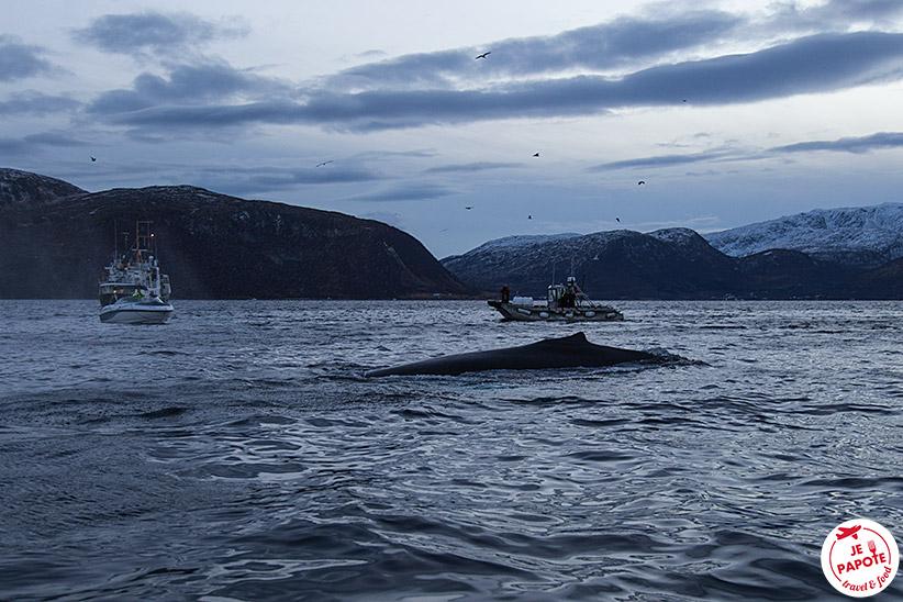 Baleine Norvège