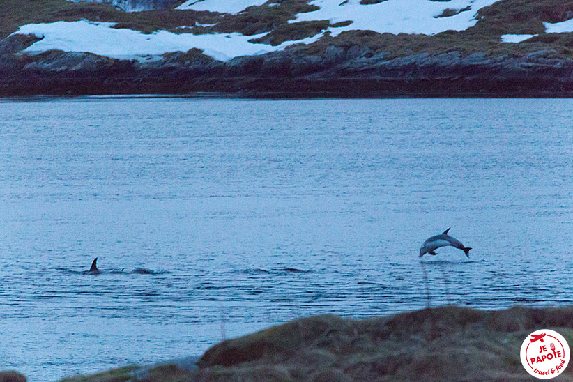 Dauphins Norvège