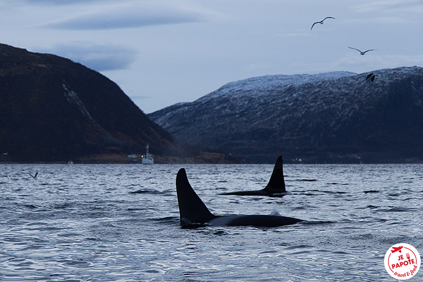 Excursion orques Tromso
