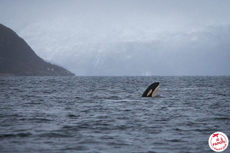 Observer les orques