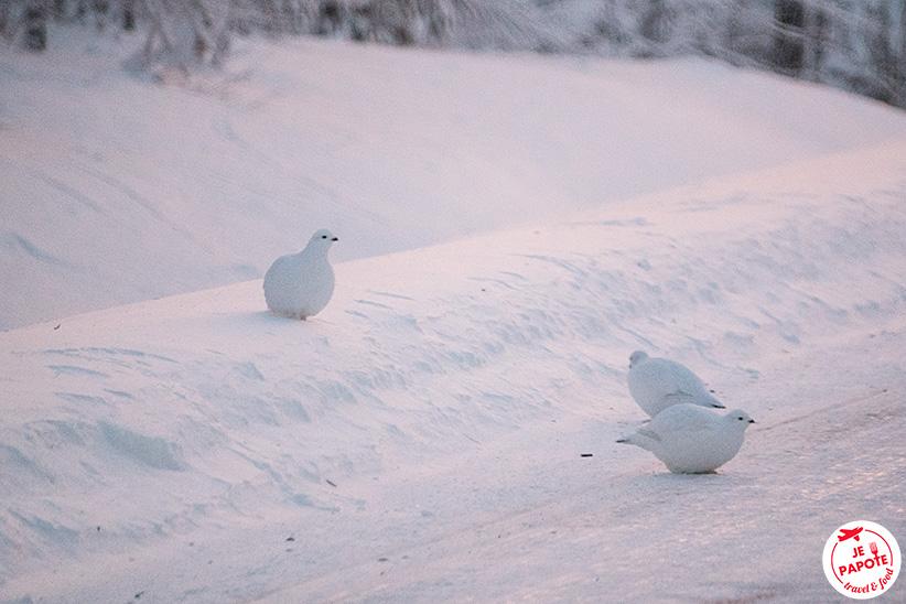 Oiseau Laponie