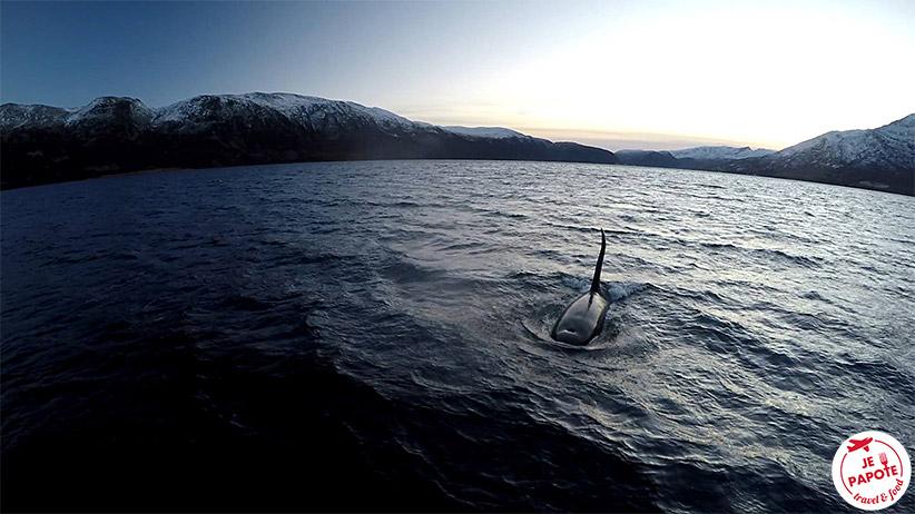 Observer les orques en Norvège