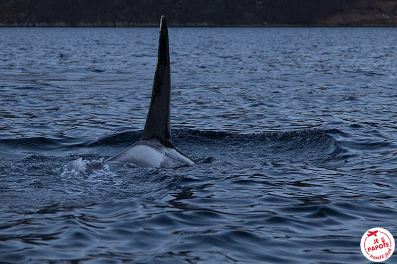 Orque Norvège