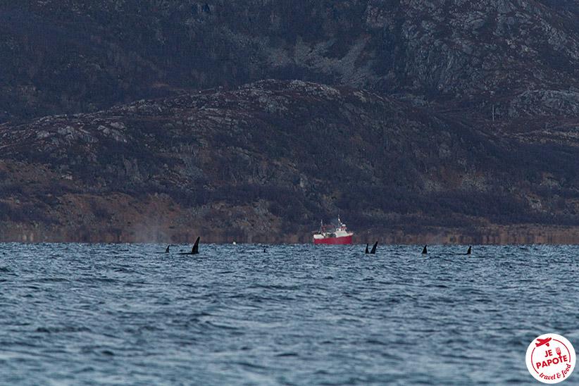 Orques dans le Fjord Tromso