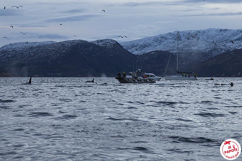 Voir les orques en Norvège