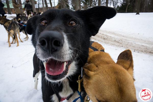 chien de traineau fete des neiges