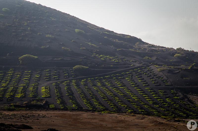 Vignes Lanzarote