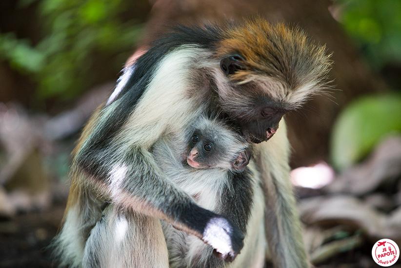 singe de Zanzibar