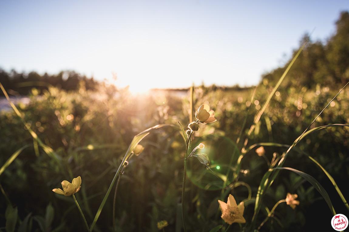 fleur soleil laponie