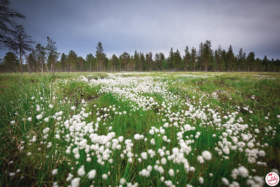 fleurs ponpon laponie