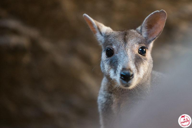 kangourou rocher