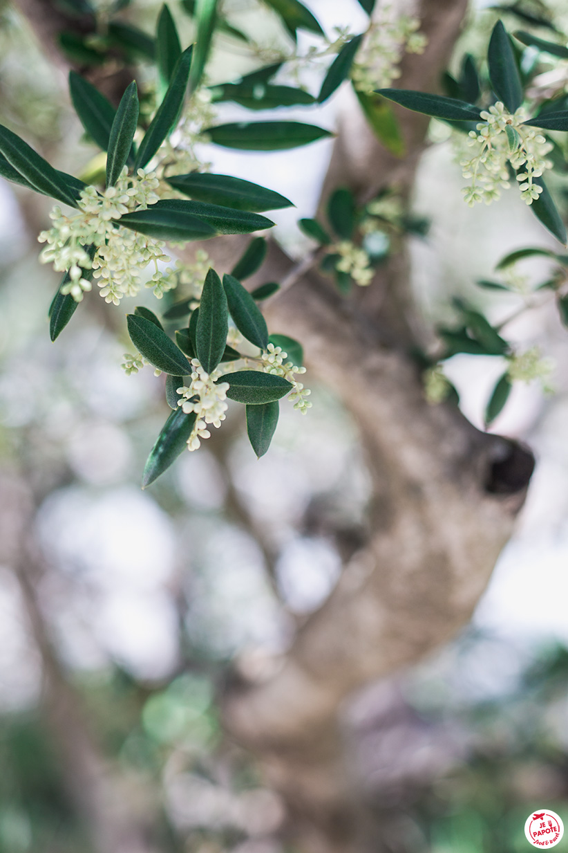 olivier en fleurs