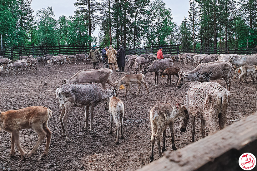 observation des rennes
