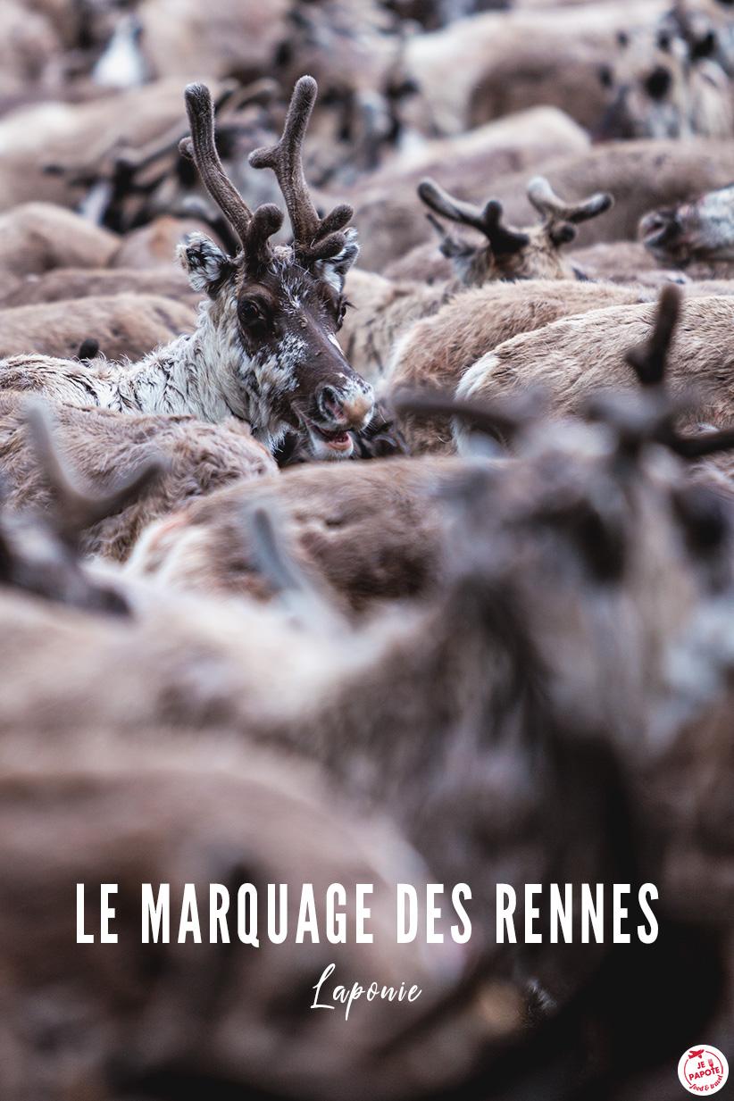 marquage des rennes