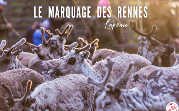 Le marquage des rennes en Laponie