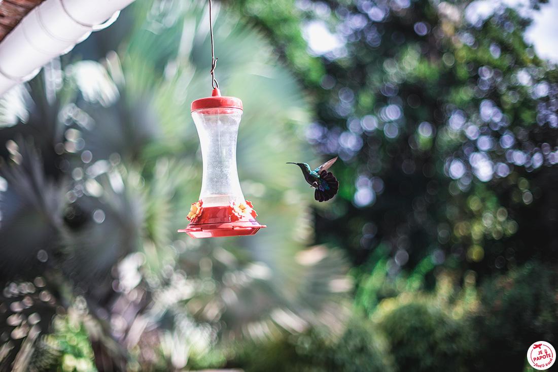 colibri martinique